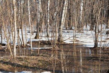 snow melting in birch forest