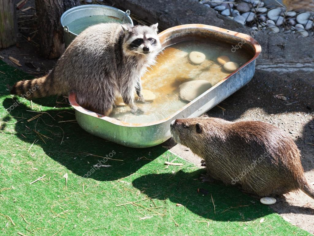 Raccoon and coypu