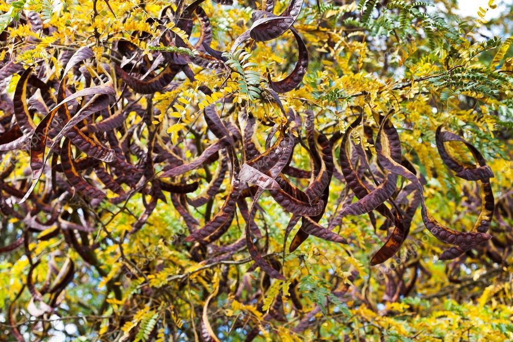 Baccelli su albero di acacia da vicino foto stock for Acacia albero
