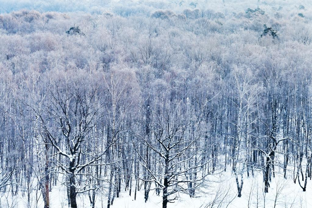 cold blue dawn over snowy forest in winter