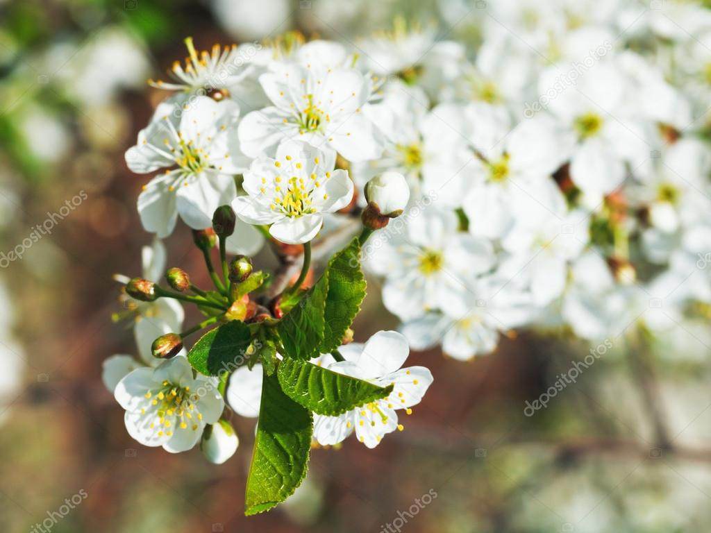 white flowers on cherry tree twig close up