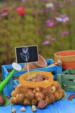 Garden, gardening, planting - bulbs of spring flowers