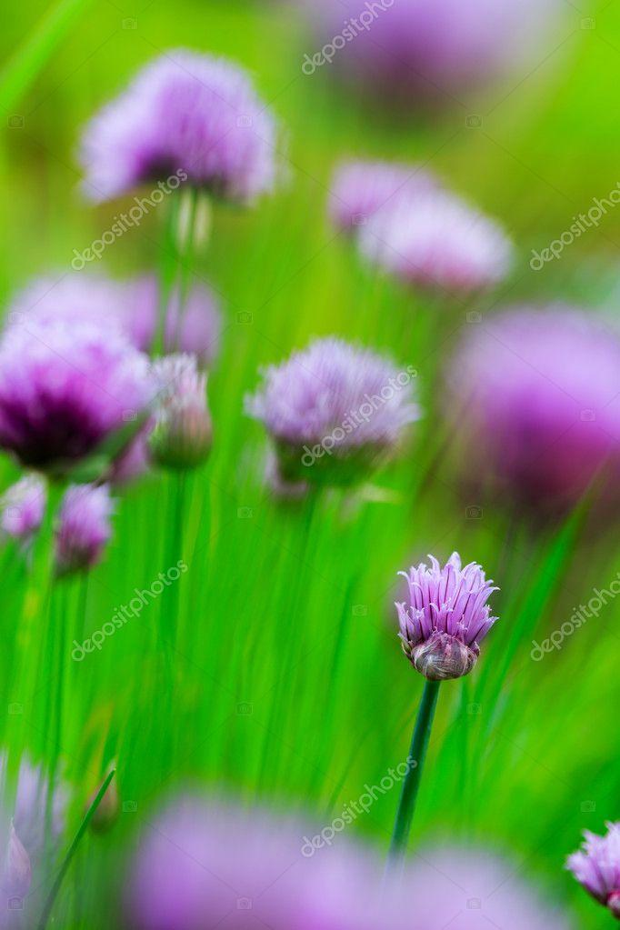Giardino Di Erbe Aromatiche Erba Cipollina In Fiore Nel Giardino