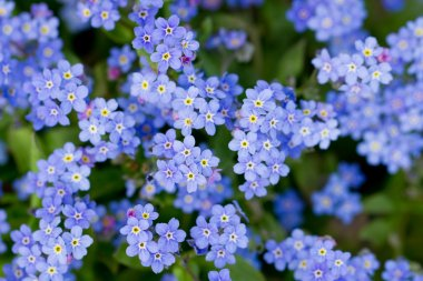 Spring garden, spring flowers - Forget me not flowers
