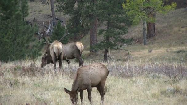 Bull Elk and Cows in Rut