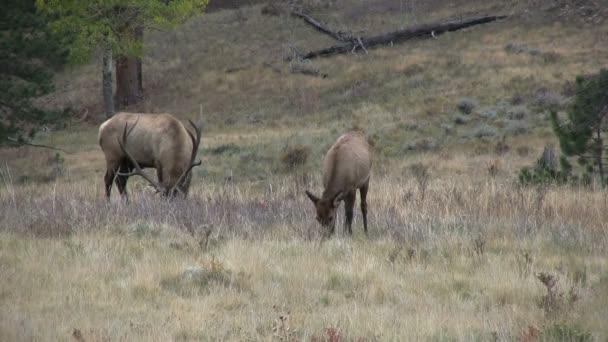 Bull Elk and Cow in rut