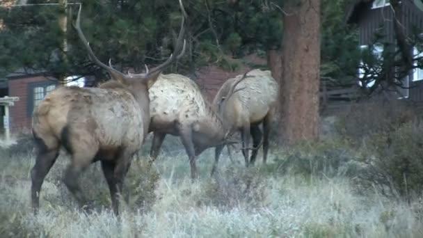Bull Elk Fighting in Rut