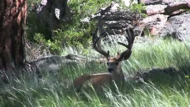 buck jeleny v sametu