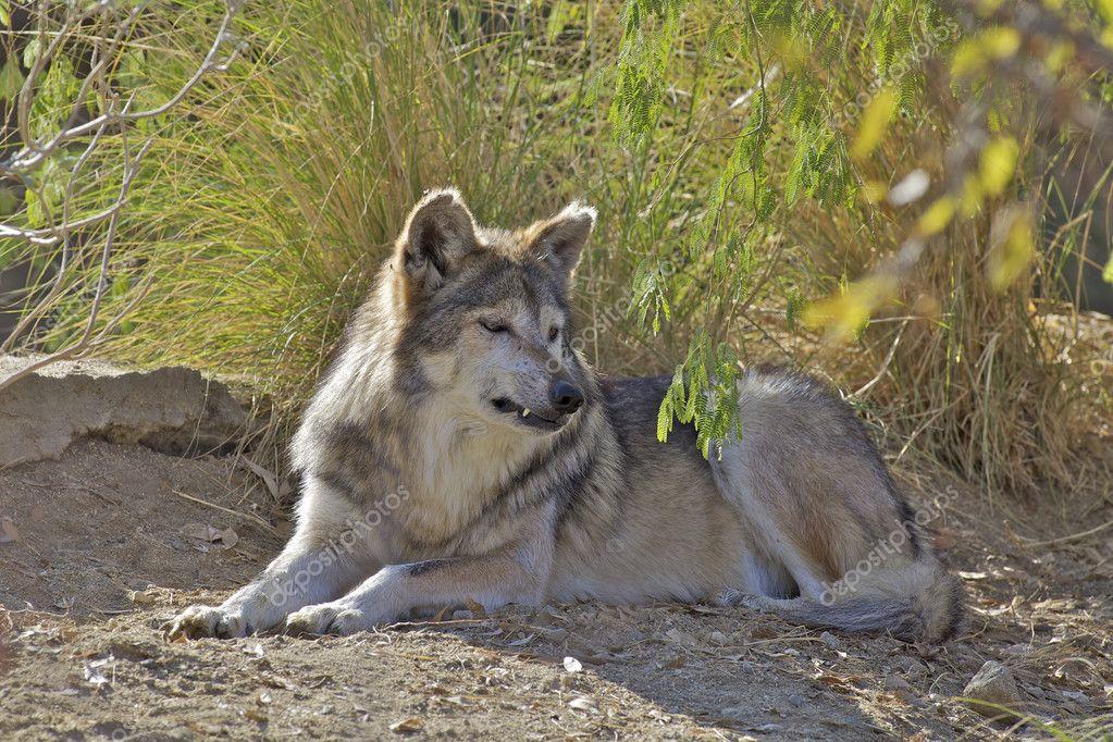Lobo Gris Mexicano Foto De: Fotos De Stock © Twildlife #20496641