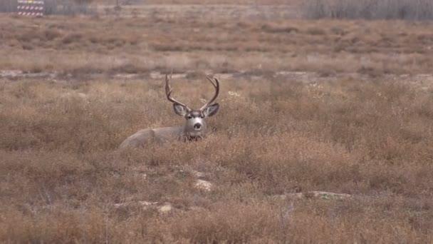 jeleny buck