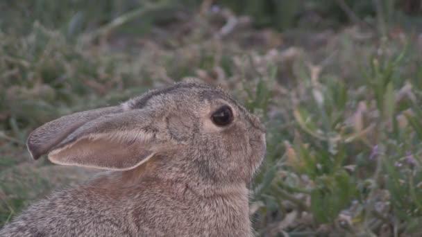 Divoký králík portrét