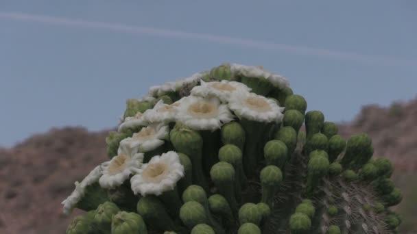 cactus Saguaro florece en el desierto