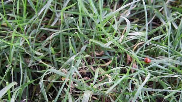 La Coccinella si insinua su un erba