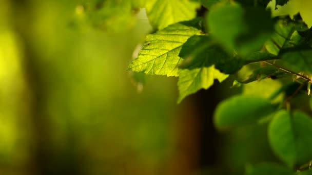 Sunlight on oak leaves