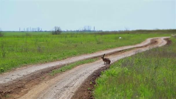 der Hase sitzt auf der Straße und läuft