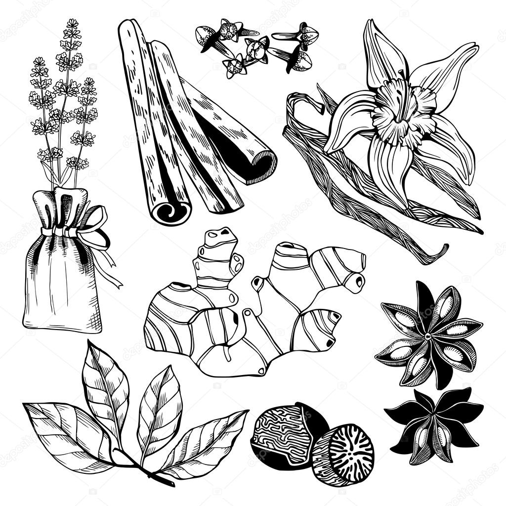 vector collection of hand drawn spices and herbs   u2014 stock
