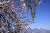 montagna e ciliegio piangente