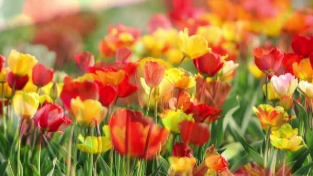 Tulipán vyčnívá