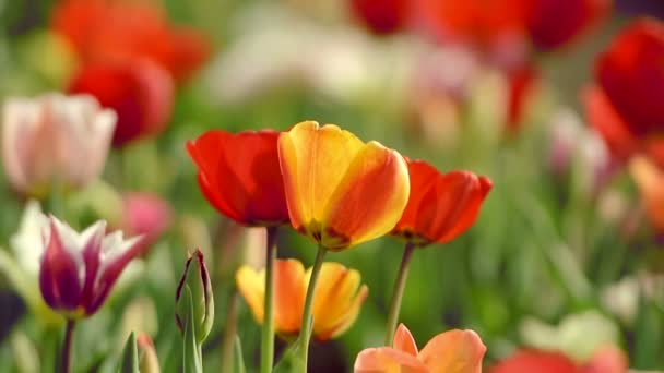 krásné tulipány v poli poblíž amsterdam, Nizozemsko