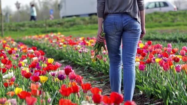 v poli Tulipán