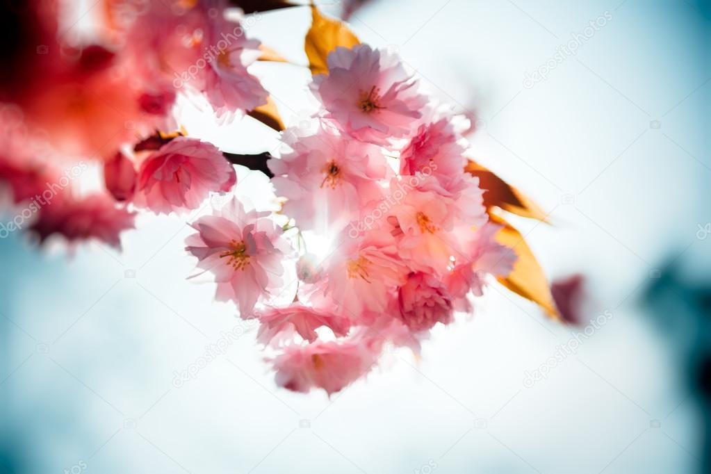 Nature flower garden Sakura