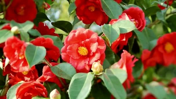 Krásné květiny kamélie