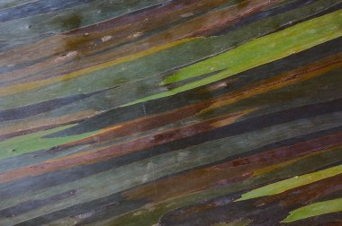 colorful abstract pattern of rainbow eucalyptus tree bark