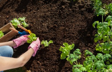 Woman planting lettuce and tomatoes