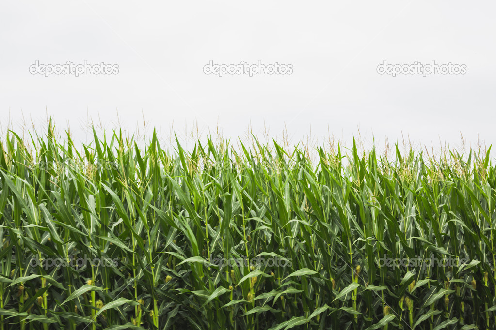 corn crop with cloudy sky in background