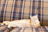 Junge Katze auf Sofa schlafen