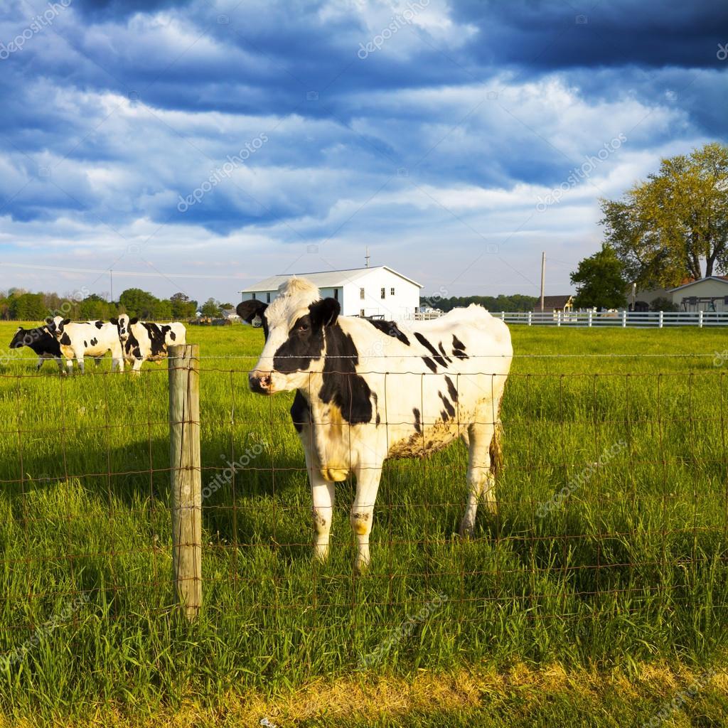 Dairy Farm With Stormy Weather