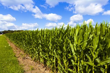Corn Field With Cloudy Sky stock vector