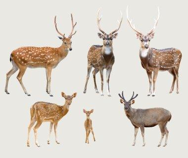 asian deer
