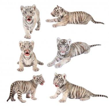 baby white bengal tiger