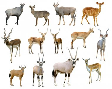 antelope collection isolated on white background