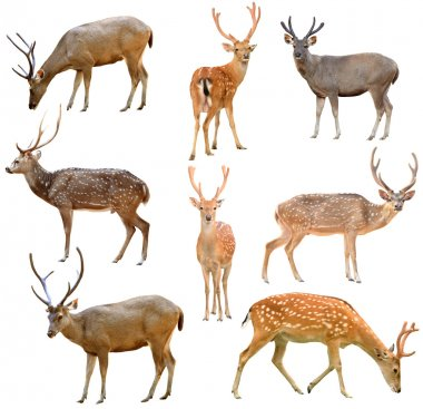 Collection of deer isolated on white background stock vector