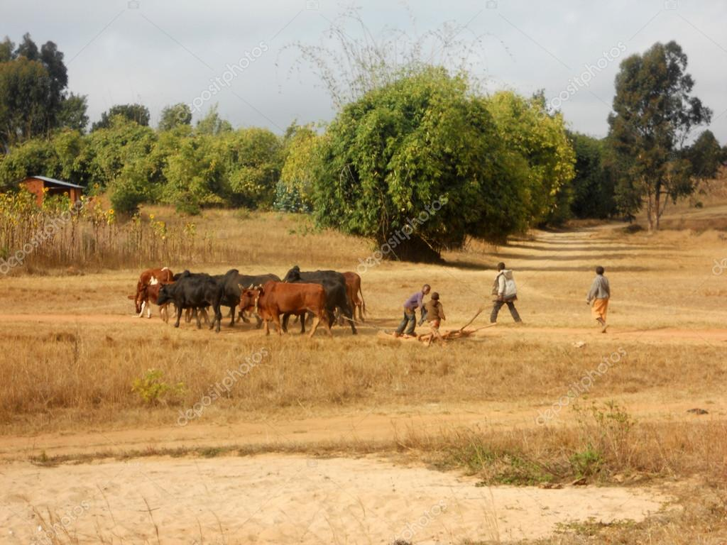 Africa - Grazing animals - Some small African children lead thei