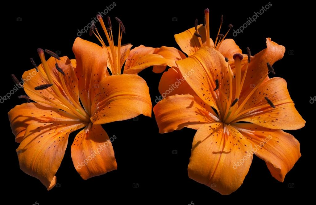Orange Lily Flowers - Lilium