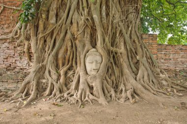 Head of sandstone buddha in the bodhi tree roots