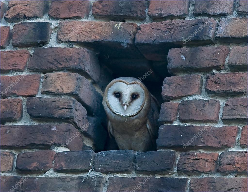 Vogel kerkuil haar nest is in een gat in de muur u2014 stockfoto