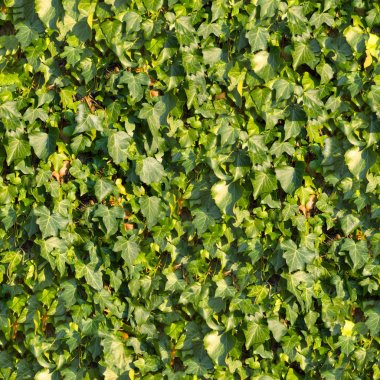 Ivy. Seamless Texture.