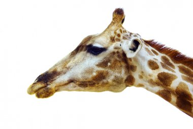 Profile of giraffe head isolated on white background stock vector