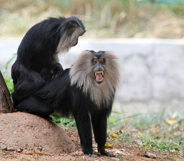 Endangered and threatened endemic monkey of india - lion-tailed