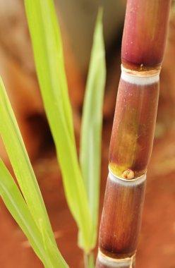 Sugarcane or sugar cane closeup showing juicy ripe stem