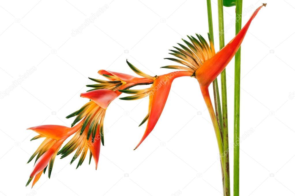 fleur tropicale oiseau de paradis isol sur fond blanc photographie 18042011 42243043. Black Bedroom Furniture Sets. Home Design Ideas