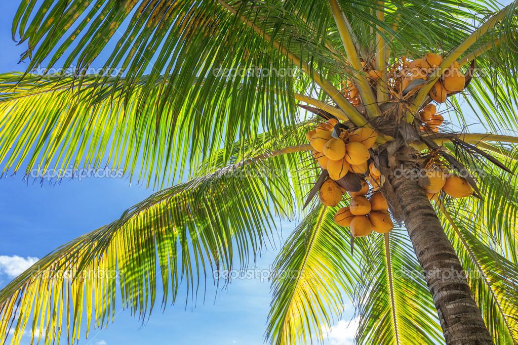 vista inferior de una alta palmera con cocos maduros lotes y fotos de stock 18042011 47694005. Black Bedroom Furniture Sets. Home Design Ideas