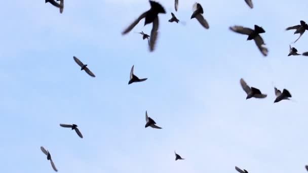 nagy nyáj madarak