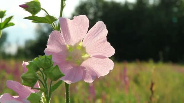 květina na slunné mýtině
