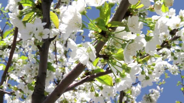 Blossoming cherry on blue sky background