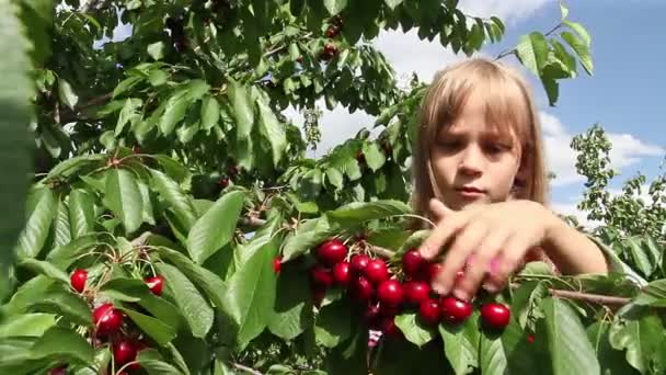 Girl plucks ripe cherries from the branches and eat it